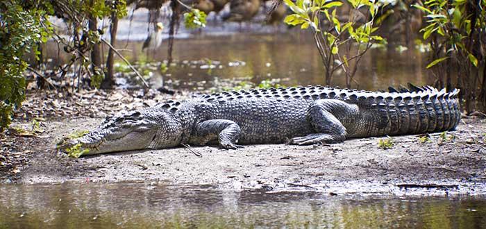 Gran cocodrilo de agua salada, uno de los monumentos australianos