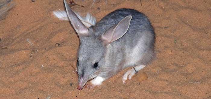 Animales de Australia en peligro de extincion Bilbi Mayor