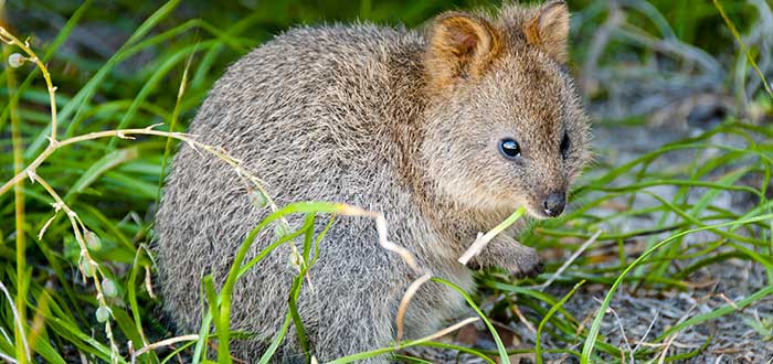 Canguro-rata colipeludo