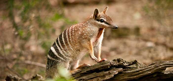 Animales de Australia en peligro de extincion Numbat