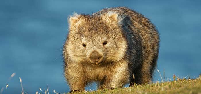 Wombat de nariz peluda del norte
