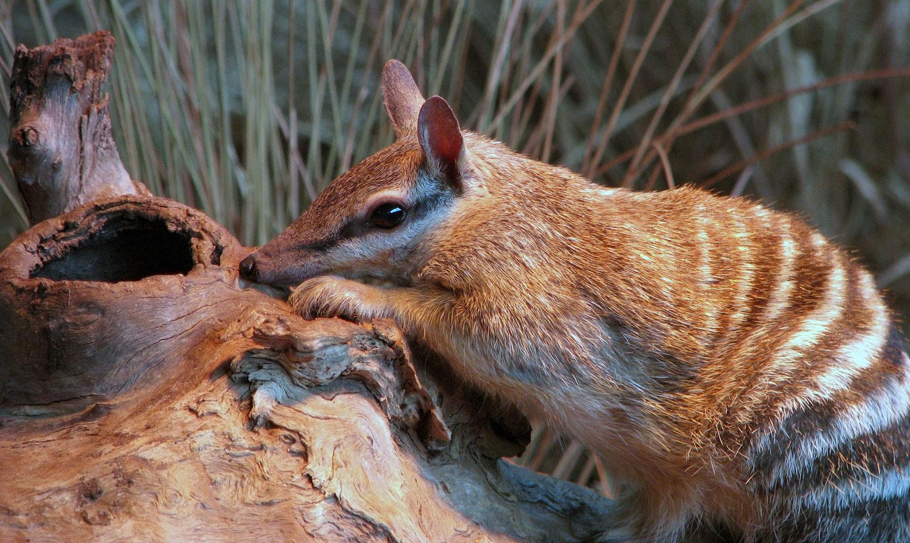 Animales en Australia en peligro de extinsion