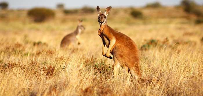 Canguro, el emblema la fauna australiana