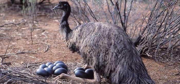 Emú, parte de la fauna australiana