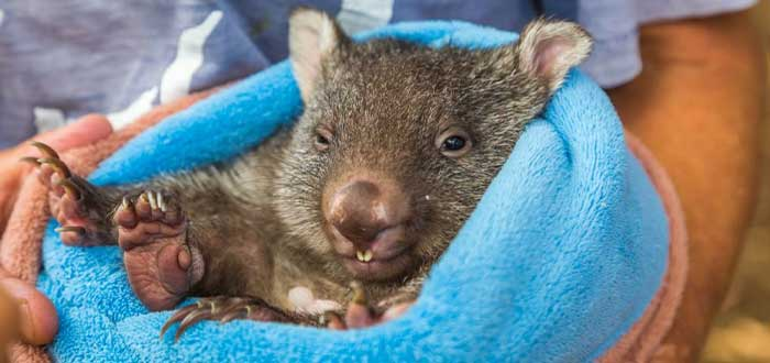 Wombat, parte de la fauna australiana