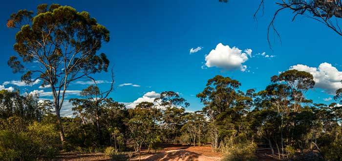 Bosques de eucalipto en Australia