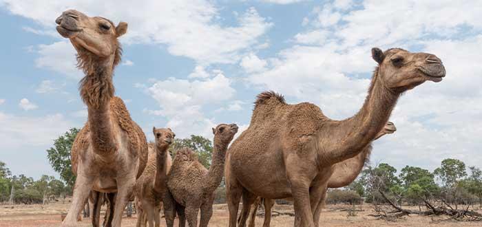 Camellos en el desierto australiano