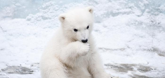 que-ver-en-canada-osos-polares