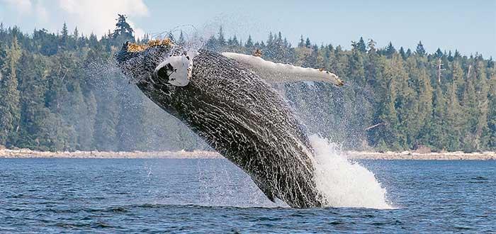 atractivos-canadienses-avistar-ballenas