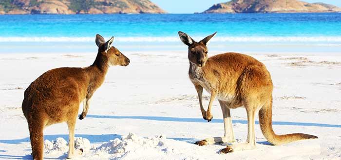 Animales de Australia Canguro