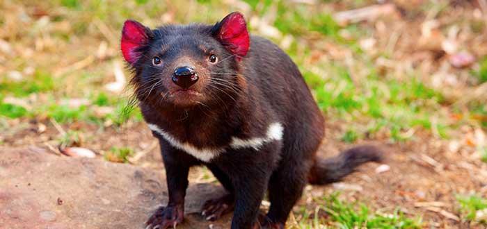 Animales de Australia Diablo de Tasmania
