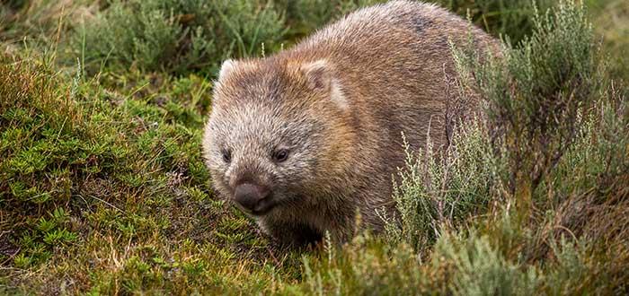 Animales de Australia - Wombat