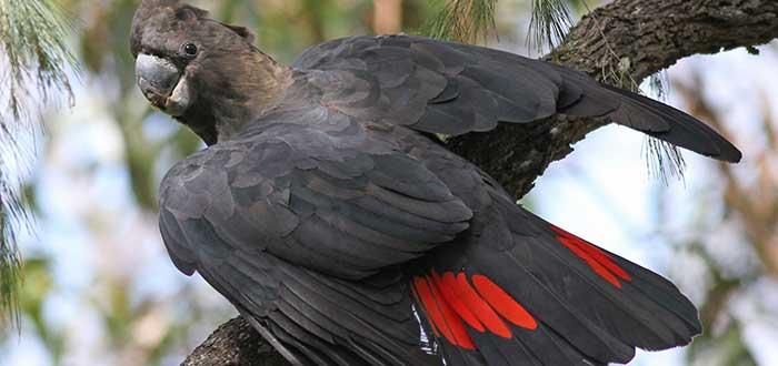 fauna australiana en peligro de extincion
