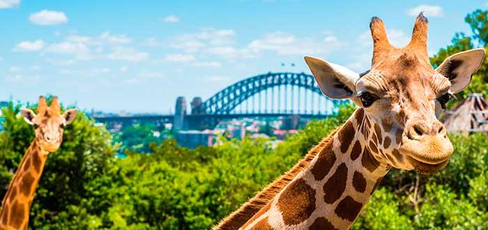 Qué ver en Sydney 9 Zoo Taronga