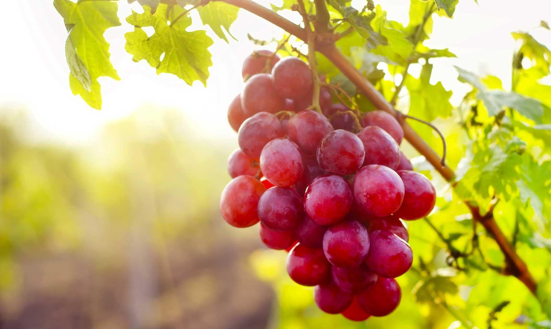 Vino Sudafricano | Guia sobre la vitivinicultura en Sudafrica