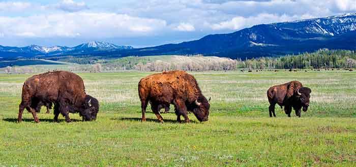 Patrimonio de la Humanidad bufalo