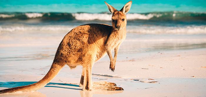 Canguro-australiano-2