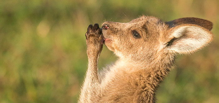 Canguro-australiano-Bebe