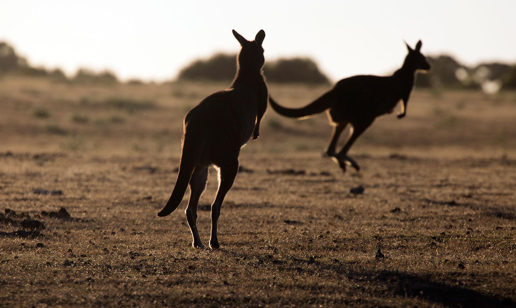 Canguro-australiano-Portada