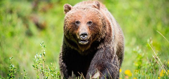 Parque-nacional-banff-oso