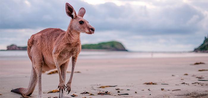canguro-australiano-habitat