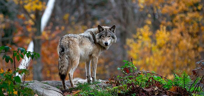lobo-parque-nacional-kluane