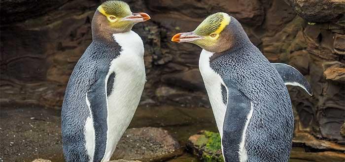 Pinguinos de ojos amarillos