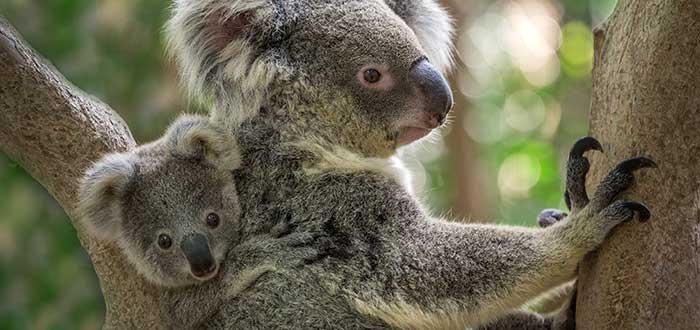 Koala, parte de la flora y fauna de Australia