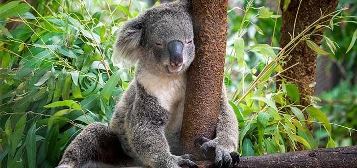 Currumbin-Wildlife-Sanctuary-koala-australia